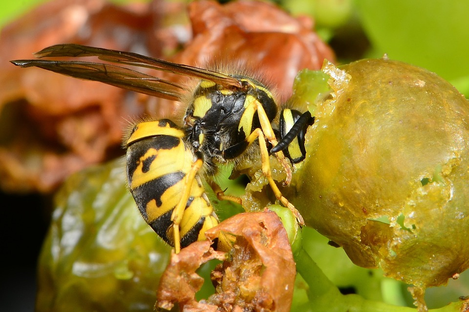 wasp on grapes